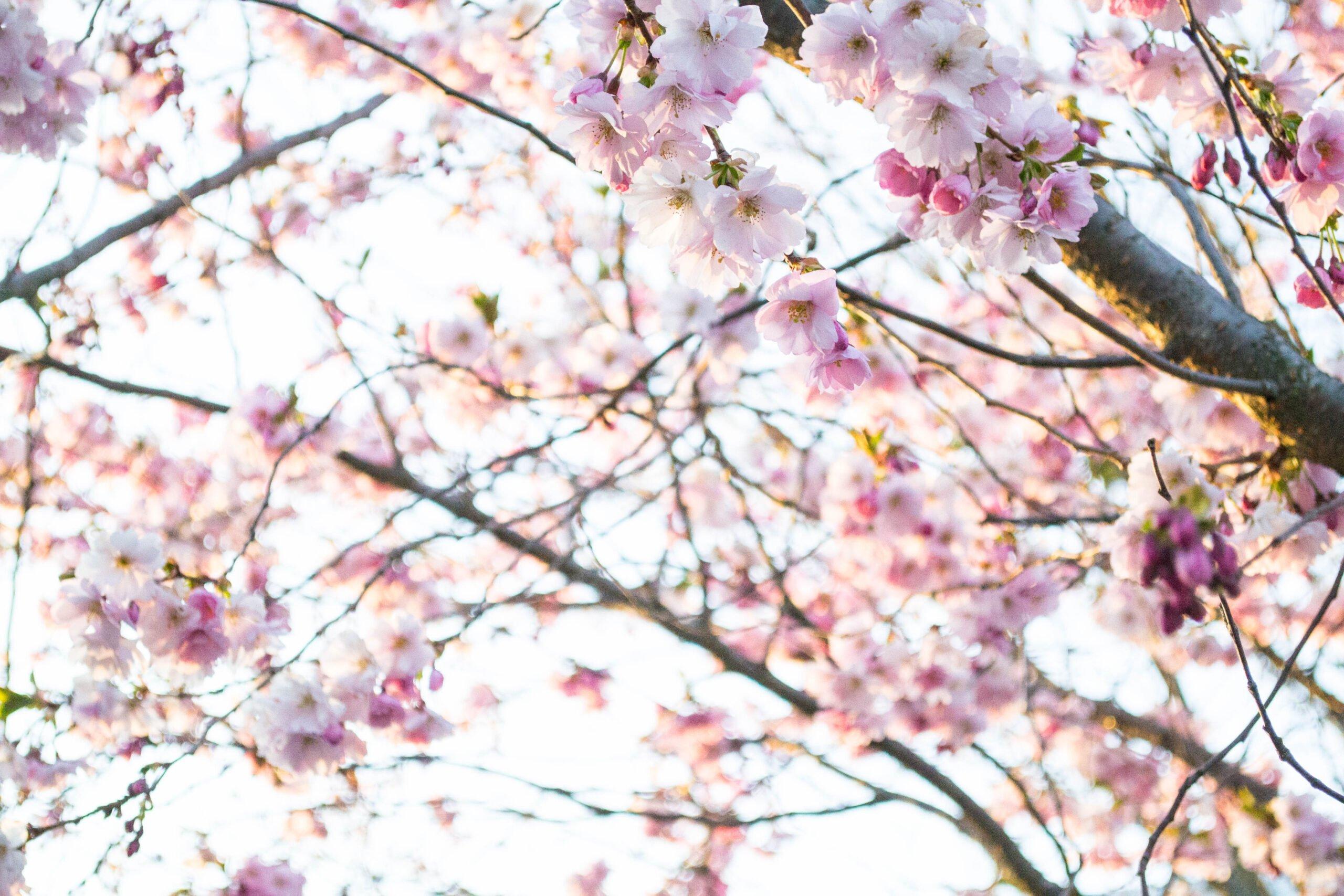 Rosablommande träd